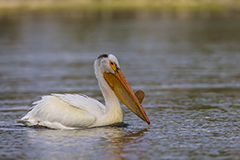 American white pelican wildlife bird photos by www.wildlifephotos.biz