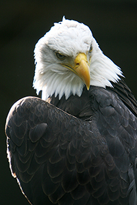 Bald eagle wildlife bird photos by www.wildlifephotos.biz
