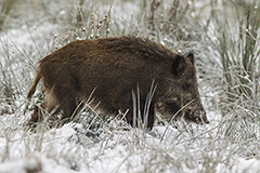 Wild boar wildlife mammal photos by www.wildlifephotos.biz