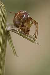 Parasteatoda lunata wildlife spider photos by www.wildlifephotos.biz