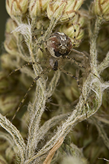 Platnickina tincta wildlife spider photos by www.wildlifephotos.biz