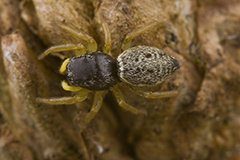 Heliophanus cupreus wildlife spider photos by www.wildlifephotos.biz