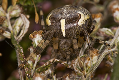 Araneus marmoreus wildlife spider photos by www.wildlifephotos.biz