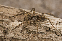 Alopecosa barbipes wildlife spider photos by www.wildlifephotos.biz
